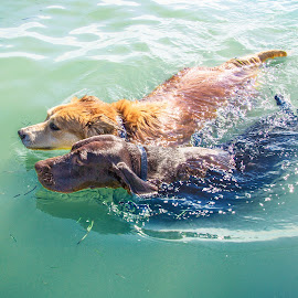 swimming buddies by Meaghan Browning - Animals - Dogs Playing ( german shorthaired pointer, together, swimming, gsp, golden retriever )
