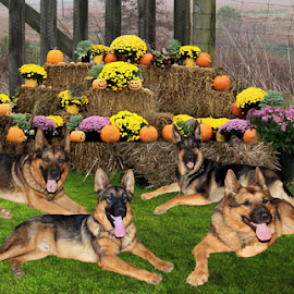 Country bumpkins by Dawn Vance - Digital Art Animals ( animals, dogs, digital art, german shepherd dog, autumn colors, digital photography )