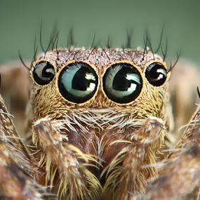 This Is Me by Widi Hardhanu - Animals Insects & Spiders ( macro jumper spider )