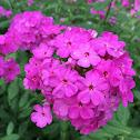 Summer phlox; garden phlox