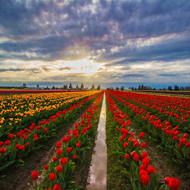 Tulip Sunset II by Judi Kubes - Landscapes Prairies, Meadows & Fields ( field, farm, clouds, red, sky, blue, sunset, yellow, tulips, flowers, garden, sun,  )