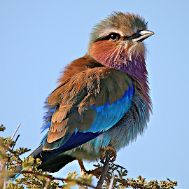 Enjoying the Winter Sun by Pieter J de Villiers - Animals Birds ( mapungubwe national park. limpopo, rollers, animals, lilac-breasted roller, africa, birds )