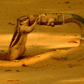 coz thirst can never wait... by Shambaditya Das - Novices Only Street & Candid ( #fun, #india, #moment, #water_is_life, #squirrel )