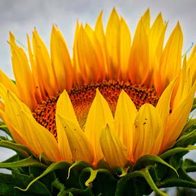 sunflower by Tiffany Matt - Flowers Single Flower (  )
