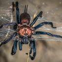 Funnel-Web Tarantula