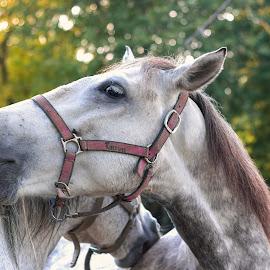by Constantinescu Adrian Radu - Animals Horses