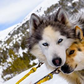 Mushing Andorra by Martín Silva Cosentino - Animals - Dogs Portraits ( dogs, grau roig, andorra, mushing andorra, portrait )