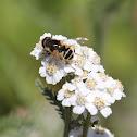 Hoverfly on Yarrow