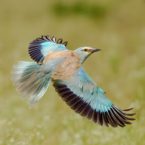 Euro Roller by Srikanth Iyengar - Animals Birds ( bird, roller, flight, european, srikanth, iyengar )