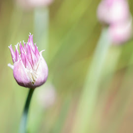 Chive Blossom by Peter P - Nature Up Close Gardens & Produce ( macro, nature, happy, green, sunshine, pink, lavender, pretty, spring, garden, floral, flower )