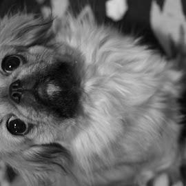 by Saša Ilić - Animals - Dogs Puppies