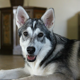 1st Born Iniut in SA by Lydia Schoeman - Animals - Dogs Portraits