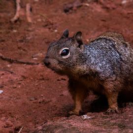 Squirrll by Leslie Heisey - Novices Only Wildlife ( utah, wildlife, squirrl )