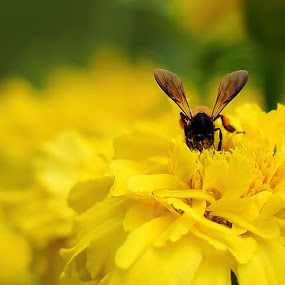 Busy Bee... by BhanuKiran BK - Nature Up Close Flowers - 2011-2013 ( bee, nectar, busy, yellow, flower, honey,  )