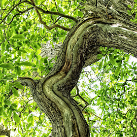 OLD tree 01 by Michael Moore - Nature Up Close Trees & Bushes (  )