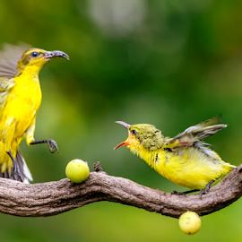 Sunbirds by MazLoy Husada - Animals Birds