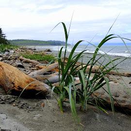 Beach Grass And Driftwood by Becky Luschei - Landscapes Beaches ( beaches, driftwood, beachy, grass, whidbey island, strewn, keen )