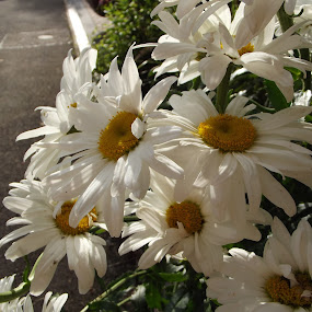 Favourite by Hayley Springall - Nature Up Close Flowers - 2011-2013 ( daisy, sunlit, flower )