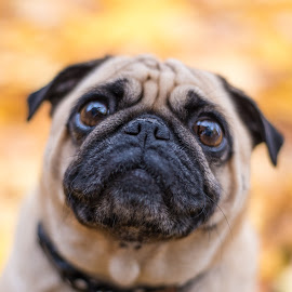 Daisy by Jennifer Wollman - Animals - Dogs Portraits ( animals, pet photography, dogs, fall, pugs, dog portraits )