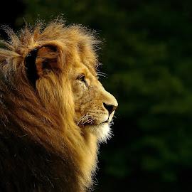 The King  by Elke Krone - Animals Lions, Tigers & Big Cats ( mähne, schwarz, raubkatze, löwe, braun, ein, seitenportrait, tierportrait )