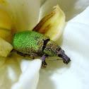 Prismatic Weevil