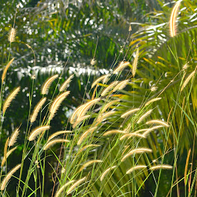 grass by 思远 郭 - Nature Up Close Leaves & Grasses ( nature, grass, outdoor, gold, sunlight )