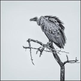 by Denis Smit - Black & White Animals