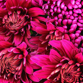 by Dipali S - Digital Art Things ( plant, detail, gift, single, seasonal, colorful, bright, botany, one, object, beauty, botanical, spring, pretty, blossom, close, macro, nature, fresh, maroon, head, closeup, flower, blooming, decoration, flora, beautiful, bloom, render, season, color, chrysanthemum, freshness, natural, garden, floral, growth )