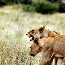 Not now! by Johan Human - Animals Lions, Tigers & Big Cats ( snarl, growl, kruger park, lions, young males )