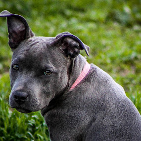 Gray Pit by Jay Woolwine Photography - Animals - Dogs Portraits ( pitbull, dog, animal, mutt, pet )