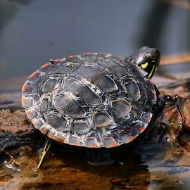 Painted Baby by Brian Homitz - Animals Reptiles ( red, painted, lake, painted turtle, turtles, yellow, baby, pond, turtle, black,  )