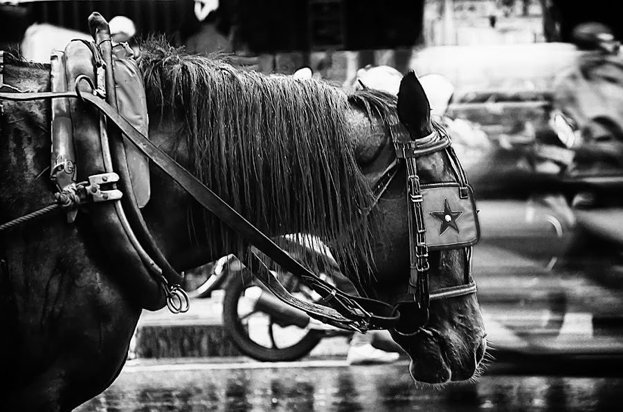 work horse by Andhy Tuasikal - Animals Horses ( horse black and white )
