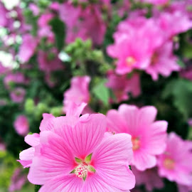 Pretty in Pink by Sam Medzic - Novices Only Flowers & Plants (  )