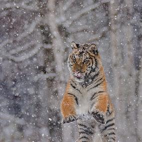 Homo Tigerus Erectus by Jiri Cetkovsky - Animals Lions, Tigers & Big Cats ( winter, tiger, snow, ussurian, standing )
