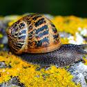 Garden snail; Caracol común