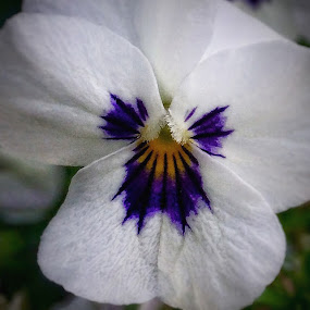 Pretty face  by Billy Kennedy - Instagram & Mobile iPhone ( pansy flower white )