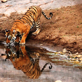 Reflection at it's best by Debajit Bose - Animals Other ( reflection, ranthambore, tiger )