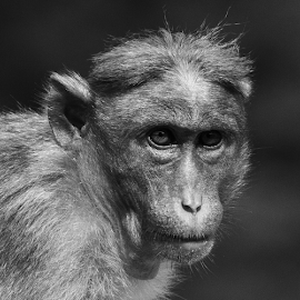 Who is that by Ajith Iddya - Animals Other Mammals ( monkey, red faced monkey, focused, black and white, old world monkey,  )