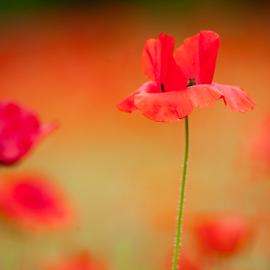 poppy bliss by Annette Flottwell - Flowers Flowers in the Wild ( red, poppy, bokeh, coqueliquot, flower,  )