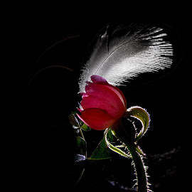 *** by Jurijs Ratanins - Instagram & Mobile Android ( plant, rose, mobilography, red, nature, feather, flower )