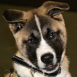 Akita Pup by Chrissie Barrow - Animals - Dogs Puppies ( pup, male, white, cream, portrait, eyes, short, pet, ears, fur, brown, puppy, japanese akita, dog, nose, black )