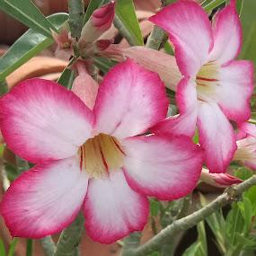 by Soumyadip Ghosh - Flowers Flower Arangements (  )