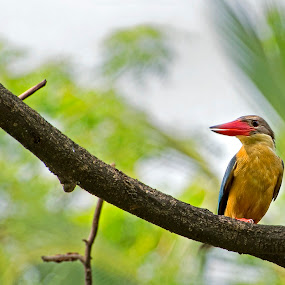 A Yellow Fellow by Sutapa Karmakar - Animals Birds