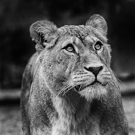 Regard de lionne by Gérard CHATENET - Black & White Animals