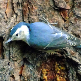 by Cynthia Dodd - Novices Only Wildlife ( nature, blue, birds )