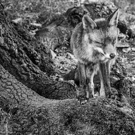 Fox by Jack Lewis McClure - Animals Other Mammals ( wild animal, fox, black and white, wildlife, close up )
