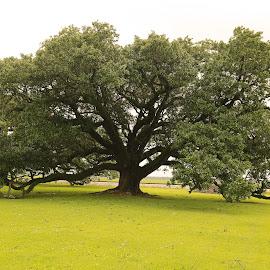 Louisiana Live Oak Tree by Ron Olivier - Nature Up Close Trees & Bushes ( louisiana live oak tree )