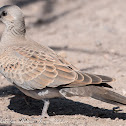 Turtle Dove; Tórtola Común