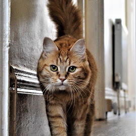 cat walk  by Mark Saxby - Animals - Cats Kittens ( cats, kitten, cat, pet, animal )
