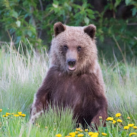 You lookin at me? by Craig Brown - Animals Other Mammals ( picture, bear, nature, canada, yukon, craig, photographer, image, wildlife, craig brown, photo, photography, cub, animal )